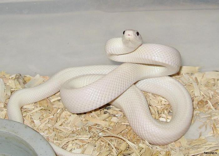 фото змея белая