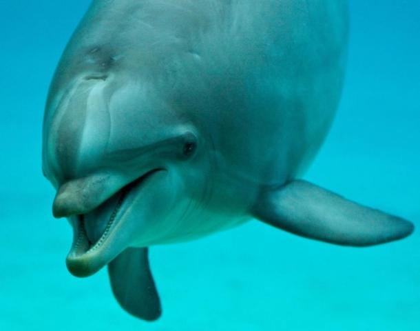 Dolphins genitalia