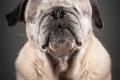 Знакомьтесь, это Хэйзел. Она была названа в честь мэра города Миссиссога в Онтарио, Канада. Эту девочку оперировали, удалили оба глаза, так как они постоянно болели и слезились. Потом ее перепродавали пять раз, меняя на нового щенка. Никто не хотел заботиться о слепой старушке. наконец ее приютила у себя женщина по имени Бланш Экстон. С ней собака сейчас и доживает свои дни.