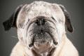 old-dog-portrait-photography-old-faithful-pete-thorne-7