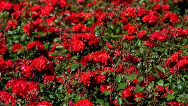 Невозможно пройти мимо розового поля. Жаль, что розы прихотливы, и найти розовое поле в природных условиях нереально. Зато можно посетить, например, розовое поле в Болгарии, в Долине роз, где произрастает и каждый год цветет более 800 культивиров.