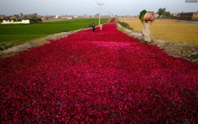 Красные розы в Пакистане выращивают целыми плантациями. Потом розовые лепестки сушат необычным способом: выстилают дороги розовыми лепестками. Так их сушат, а потом собирают и поставляют на рынок. Конечно, по ним ходят, но только босыми ногами и не все, чужие аккуратно обходят место высушивания.