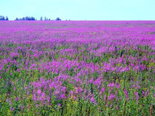 А на территории Евразии можно найти поля с Иван-чаем. Они тоже очень даже живописные, хотя оттенок совсем другой.