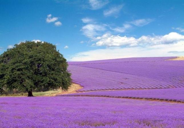 Ну, и наконец, фиолетовый. Самые сочные оттенки у лавандовых полей. Очень много их во Франции. Используют лаванду и в качестве промышленной культуры, и для создания духов, и аромамасел.