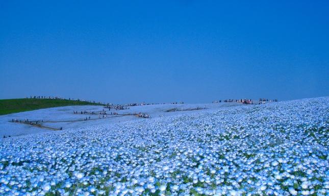 Наиболее красивые голубые поля — поля с незабудками. Иной раз кажется, что небо сливается с землей. Конкретно это поле находится в Японии, в японскиом национальном приморском парке Хитачи (Hitachi Seaside Park), что расположен на о.Хонсю. кстати, если вы не знали, то Hitachi переводится, как «рассвет». Цветы зовутся немофилами, родиной их является Северная Америка, поэтому их называют американскими незабудками. Название цветка образовано от сочетания двух древнегреческих слов «роща» и «любить».