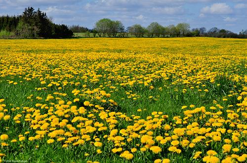 Еще два желтых поля, которые просто нельзя обойти вниманием. Всем известные желтые одуванчики.