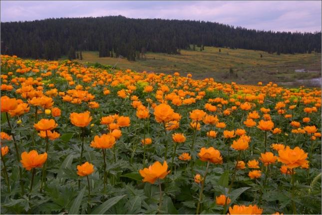 «Оранжевое лето, оранжевый верблюд…» С точки зрения идеала лучшее оранжевое поле — это поле, усыпанное купальницами. Этот цветок начинает цвести, когда вода достаточно прогревается, чтобы можно было купаться. Цветок связан со множеством легенд, и у него есть масса местечковых названий: купальница, жарок, авдотка, бубенчики, запонки, слепота, полденышки, болотные шапки, сиверушки, кучерская травка, воловье око.