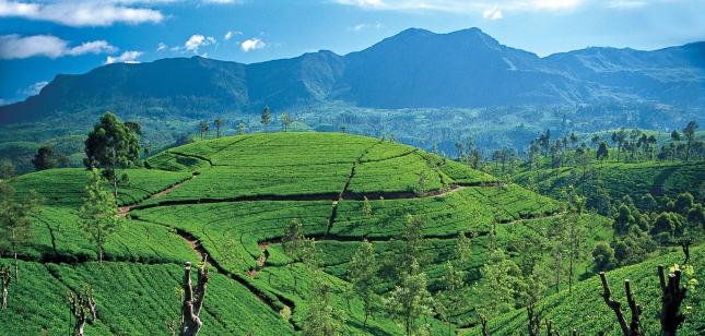 Чайные плантации в Шри-Ланка