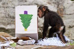 Шимпанзе по имени Фумо радостно открывает коробочку.