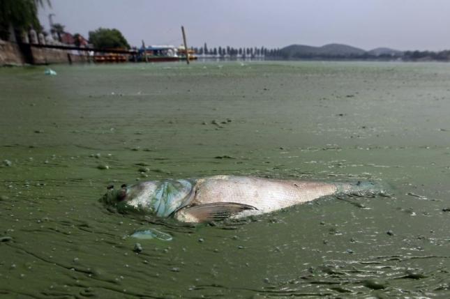 Мертвая рыба, погибшая от недостатка кислорода в зарослях водорослей в одной из речек в Ухане