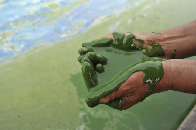 Вот так выглядят водоросли в реках Китая.