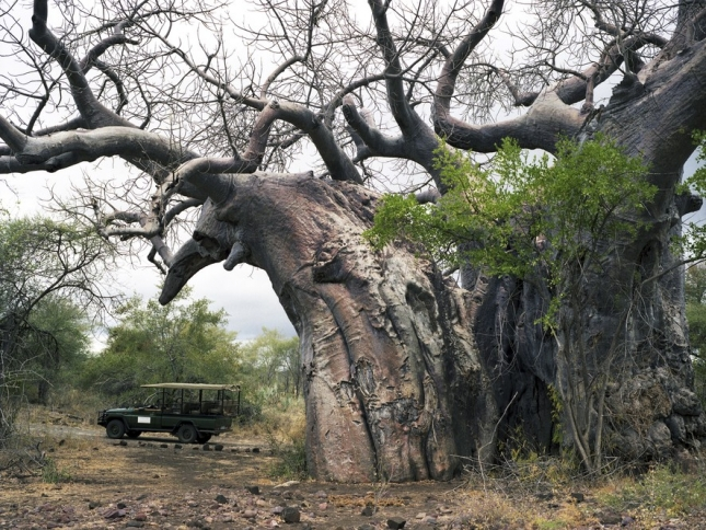 Баобаб Парфури, 2000 лет. Национальный парк Крюгер, ЮАР. Африканские баобабы выглядят так, как сказочные дубы-великаны. В Африке им поклоняются, как символам изобилия.