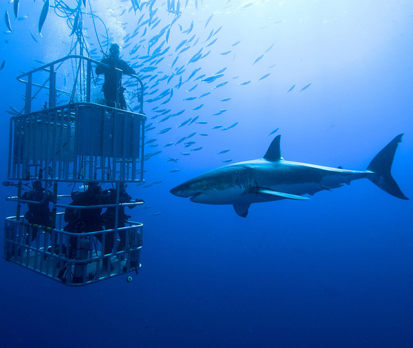 Cage-Dive-Great-White-Sharks