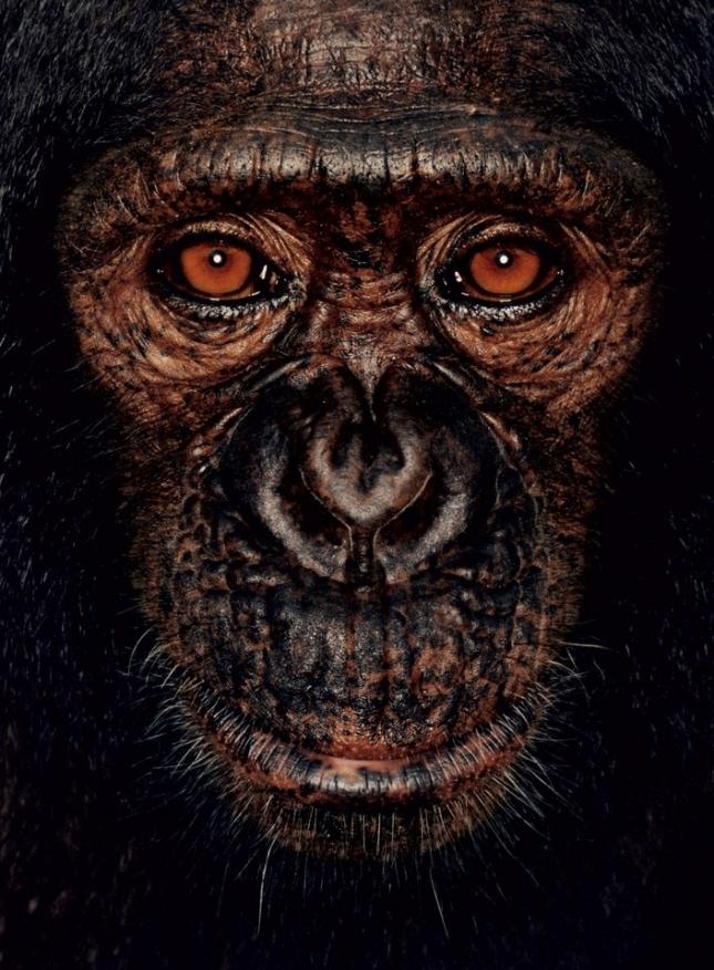 Джеймс, самец шимпанзе, ему 5 лет. Родителей убили торговцы мясом экзотических животных. Отобран у браконьеров специалистами Министерства по лесному хозяйству и охране окружающей среды.