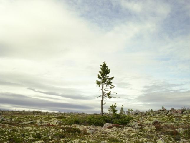 Ель Old Tjikko, 9550 лет. Швеция. Она ерескакала даже старика Мафусаила. На сегодняшний день она считается самым стареньким деревом на планете. Даже секвойи, которые долгожители и великаны, не дотягивают до нее. А так долго она прожила потому, что ее корни как будто застыли в длительном анабиозе, а спустя несколько тысячелетий, когда изменился климат, начала расти заново. Поэтому ствол у ели молодой, а корни  - древние.