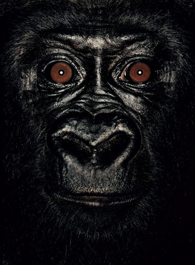 Элен, самка гориллы, ей 4 года. После того, как ее спасли от браконьеров и отвезли в приют, с трудом уживалась с сородичами, поскольку все детство провела вне среды привычного обитания.