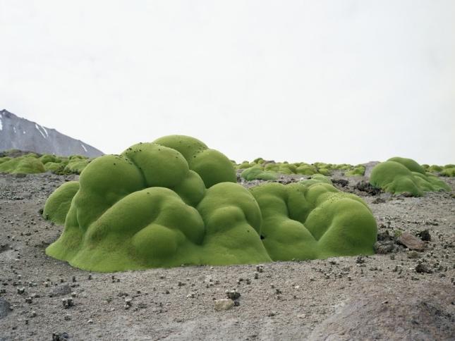 Ярета, чили, пустыня Атакама.Ярета произрастает в Андах на высоте 3-4 км над уровнем моря. Масса мельчайших соцветий образует сплошной бледно-зеленый покров, и растение покрывает подушкой коряги и камни. Листья яреты восковые на вид. Разрастается ярета очень быстро, и местные жители, зная, что она прекрасно горит, используют ее в качестве топлива для розжига костров и обогрева. Ярету охраняют по закону, чтобы все не сожгли.