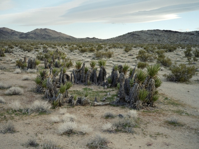 Юкка, 12000 лет. Пустыня Мохаве, Калифорния, США. Юкка из семейства агавовых произрастает на всей территории пустынных земель Америки. Видов юкки существует очень много, и выглядят они и как кустарники, и как трава, и как деревья.