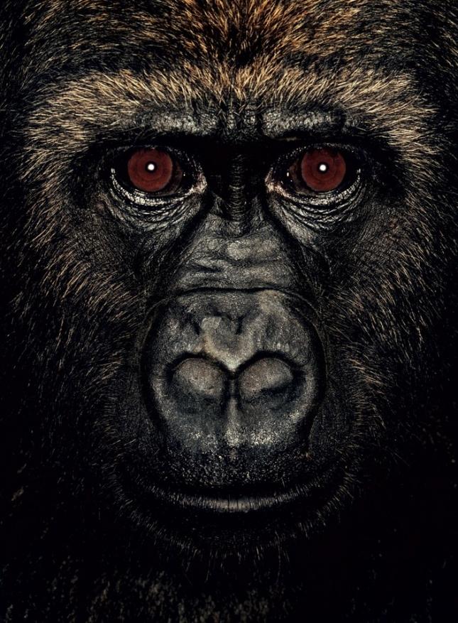 Кибу три года. Самец гориллы из Камеруна потерял родителей в младенчестве. В возрасте 3 недель его нашли тележурналисты Камеруна у местных охотников. В руке у маленького мальчишки были всажены пули. После событий того дня страдает психическим расстройством и находится под наблюдением врача.