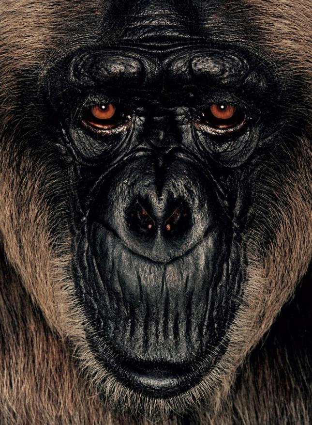 Лавьей 29 лет, самка гориллы. Живет в приюте Конго, а обнаружена в пристанище браконьеров в Пуэнт-Нуаре. Почти всю сознательную жизнь провела в клетке. Первые шесть лет в приюте боялась выйти из загона и съеживалась, думая, что накажут.