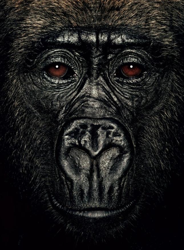 Лулу 4 года. Самка гориллы проживает в Конго, оставшись без родителей. Обнаружена полуживая рядом с останками убитой матери и не знающая, куда ей идти. Сейчас живет под присмотром приемной матери Лесио-Луна.