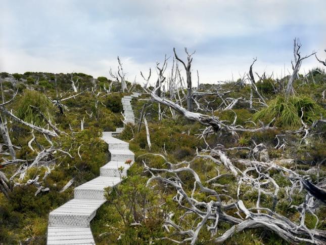 Мертвая хуанская сосна, 10500 лет. Гора Ред, Тасмания. На сайте мы уже неоднократно писали о Тасмании и ее обитателях и фауне. Редчайшие растения можно найти буквально на каждом шагу. И корявые белесые стволы, как кости динозавров, не исключение.