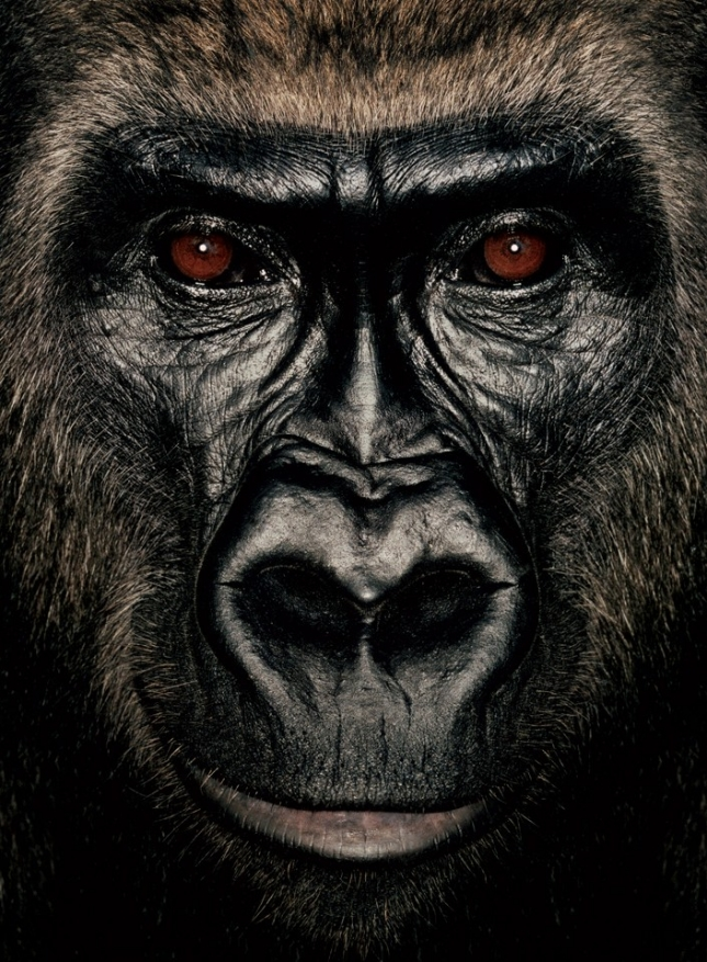 Пумбу Горилле, самке гориллы, 8 лет, сейчас она проживает в Конго с приемной матерью с тех пор, как исполнилось 9 месяцев. Ее родителей убили те, кто торгует мясом экзотических животных. Малышку тоже ждала такая участь, но партию живого «товара» конфисковали в Пуэнт-Нуаре. Над левым глазом у обезьяны остался шрам, а на левой лапе зажившие порезы, как память о былых событиях.