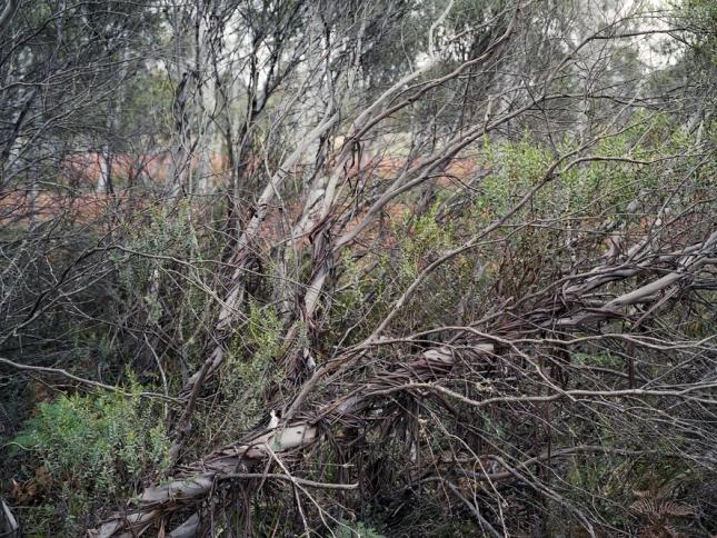 Разлапистый и красивейший эвкалипт, 13000 лет. Новый Южный Уэльс, Австралия. Австралия, кстати, родина эвкалиптов. А вообще их существует крайне много. И возраст у них у всех достаточно древний, хоть все фотографируй.