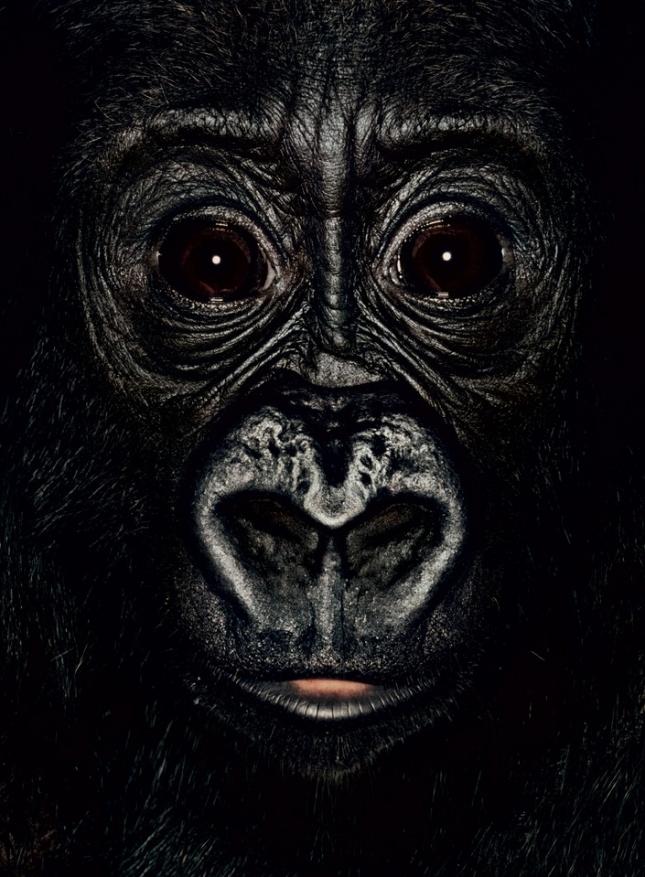 Двухлетке Шанге, самке гориллы, повезло попасть в Германию. Отнята у матери, у которой не было молока и отвезена в африканский приют. Сейчас Шангу живет у приемной матери (женщины, не обезьяны), а в ближайшем будущем будет передана в берлинский зоопарк, где будет жить с другими гориллами.
