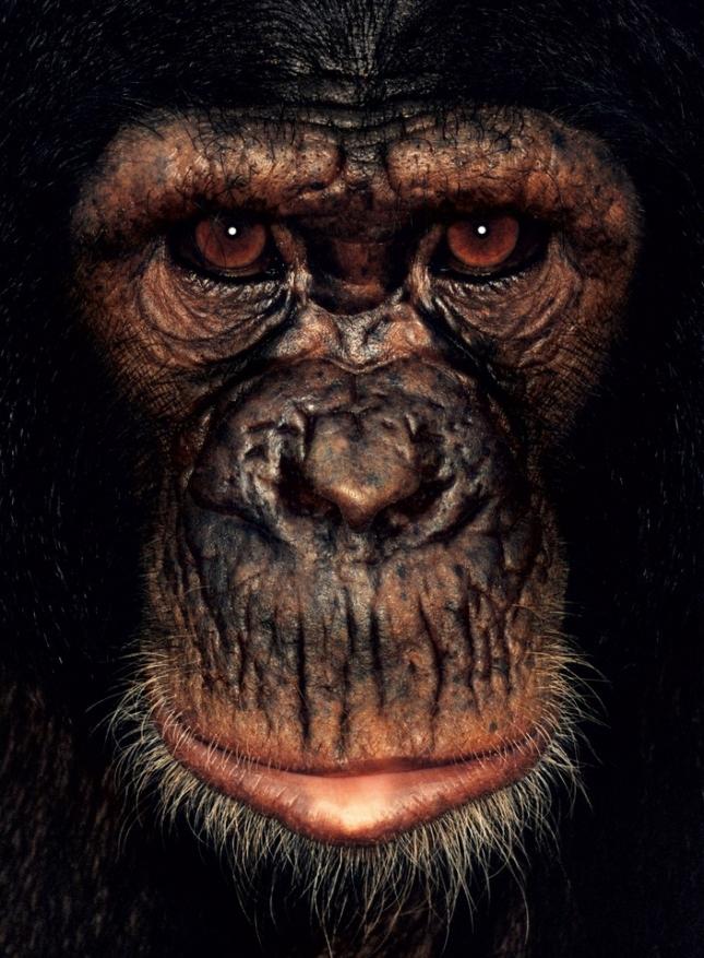 Шим, самка шимпанзе, проживает в Камеруне. Родителей убили браконьеры, как только она появилась на свет. Девочку забрали в бродячий цирк и заставляли танцевать, вставив в рот уздечку, как лошади. Весь ее рот изрезан глубокими шрамами. Танцевала она за пищу, иначе не кормили. Теперь, живя в приюте, бедняжка танцует, если проголодалась, и никак не отучится от этой привычки.