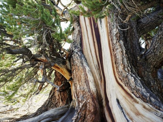 Сосна остистая, Уайт- Маунтинс, Калифорния, США