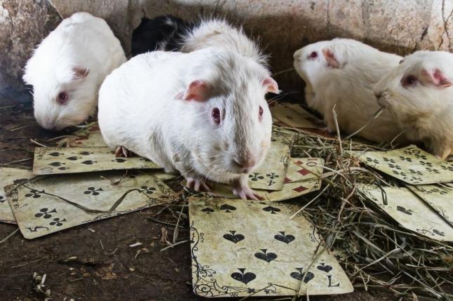Спасенные морские свинки должны были играть в игры больших и жестоких людей. Но они предпочли играть в карты.