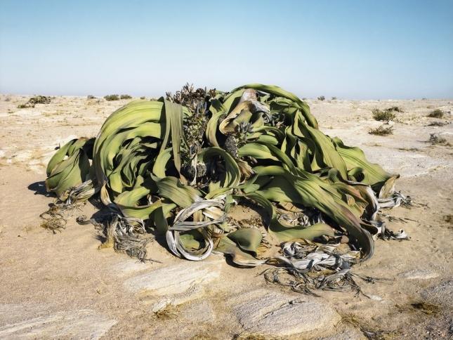 Вельвичия удивительная, 2000 лет. Пустыня Намиб, Намибия. Вельвичия – дерево-карлик. Живет до 2000 лет, а на земле существует со времен эпохи динозавров. Сухая вельвичия горит без дыма, дает много тепла. Названа благодаря первооткрывателю растения Фридриху Вельвичу. Считается национальным символом Намибии и красуется на его гербе. У вельвичии прекрасно развита корневая система, которая укрепляет почву и препятствует эрозии. Ее часто высаживают на сыпучих песчаных склонах.