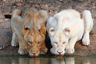 Африканские львицы-подружки