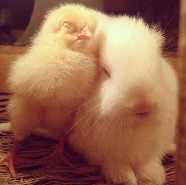 Цыпленок и кролик