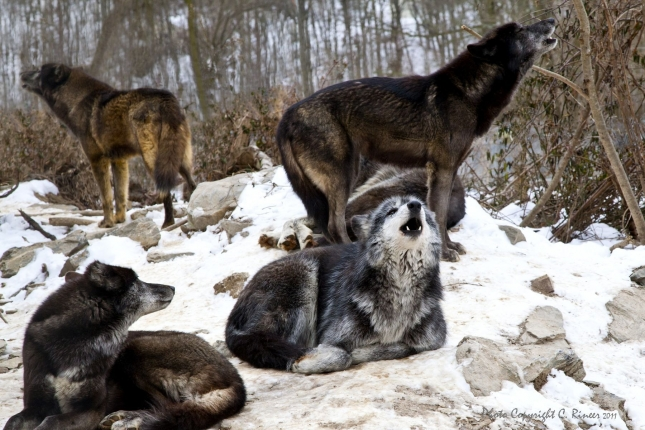 howling-04c2049536671a13