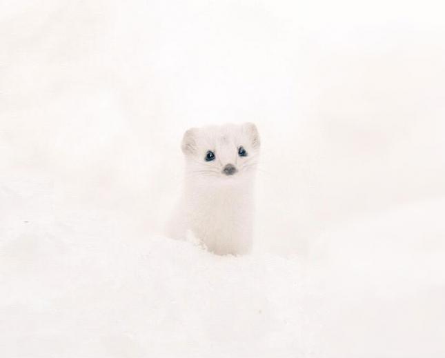 Иидзуна или белая ласка, в отличие от своих сородичей имеет полностью белую шкурку без черных меток.