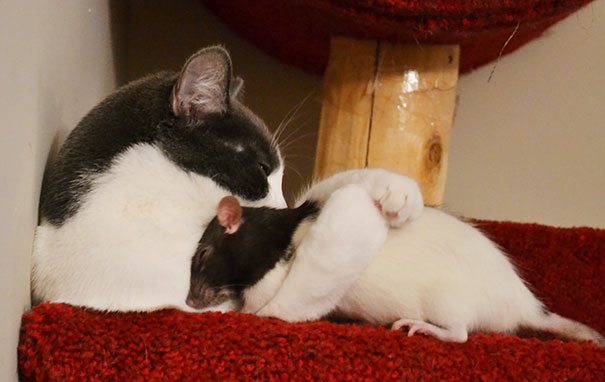 Кошка приняла крысеныша за своего ребенка