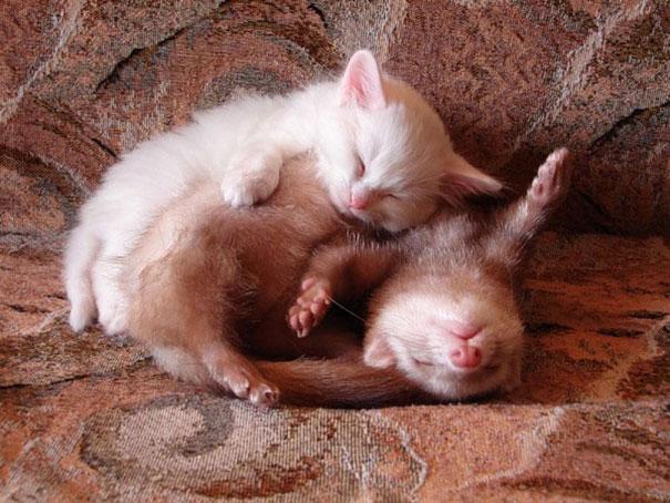 Котенок и хорек