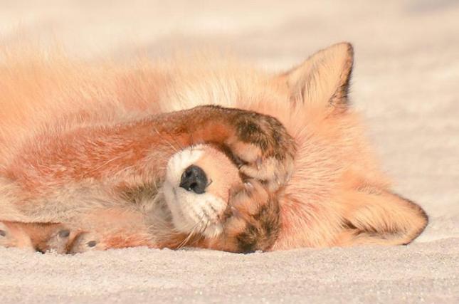 Красная лиса Хоккайдо