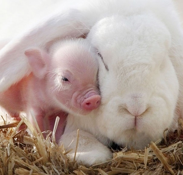 Кролик и свинка