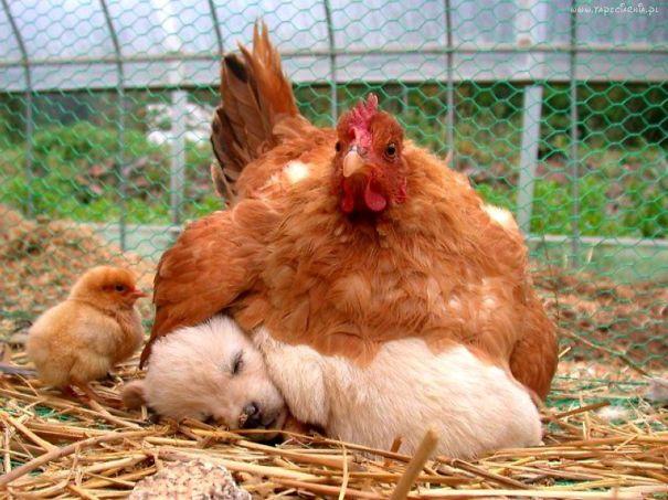 Курочка и щенок