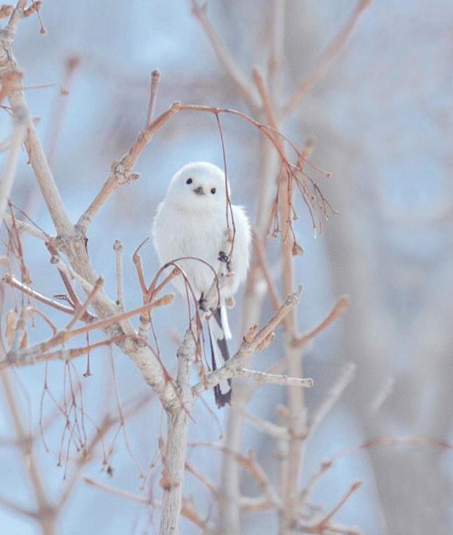 Шима-енага  - разновидность синичек, живущих только на Хоккайдо. В отличие от обыных птиц у этих явственно выделяются белые бровки.