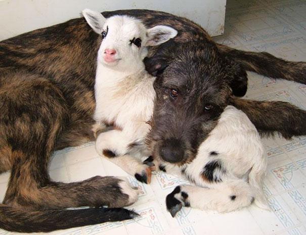 Собака и ягненок