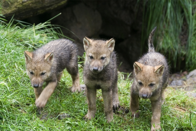 Trio-of-wolf-pups