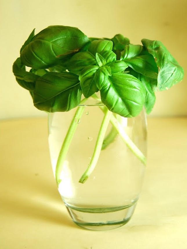 Basil-Cuttings