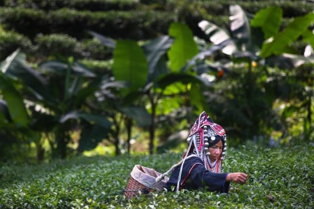 Чай улун в провинции Чианг Рай, Таиланд