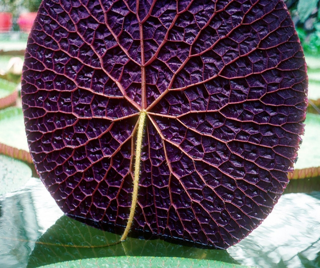 Лиловый лист из Амзонии