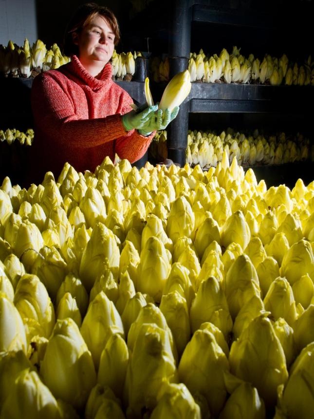 Работница на садоводческой ферме выращивает цикорий. Германия. Это очень высооплачиваемся работа.