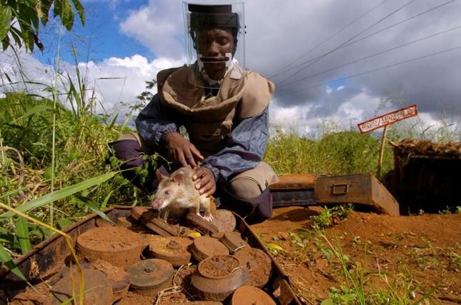 10hero-rats-bomb-demining-africa-apopo-10